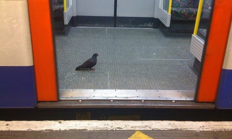 Pigeon on Tube